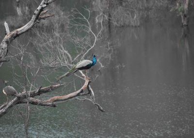 einheimischer Wasservogel