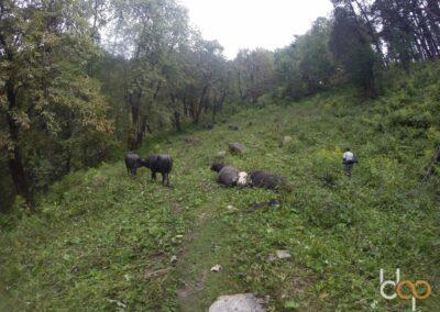 Indien Alive Tour Tag 3 Himachal Pradesh Sarahan Trek treffen auf Kühe